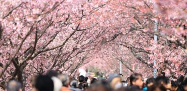 people-walking-under-trees-in-pink-blossom